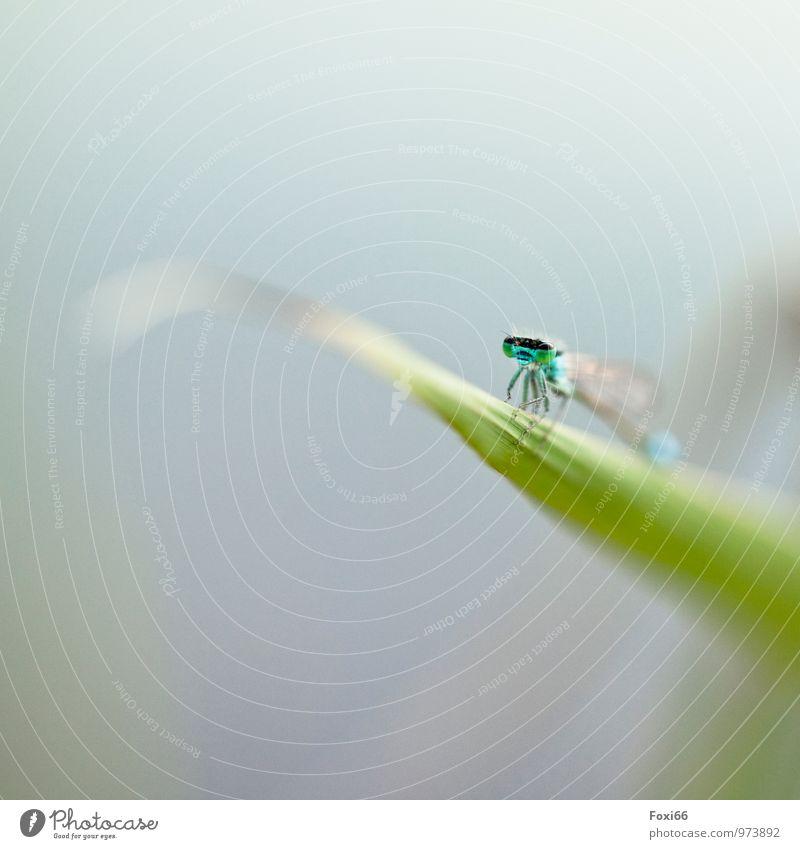 fliegen / erst mal eine Pause Natur Wasser Sommer Gras Wildpflanze Schilfrohr Seeufer Teich Wildtier Tiergesicht Libelle Insekt Gliederfüßer 1 natürlich blau