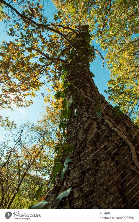 langlebig......hoffentlich! Natur Himmel Wolken Herbst Baum Efeu Wildpflanze Eiche Laubwald Wald Gesundheit Zusammensein natürlich schön stark blau braun gelb