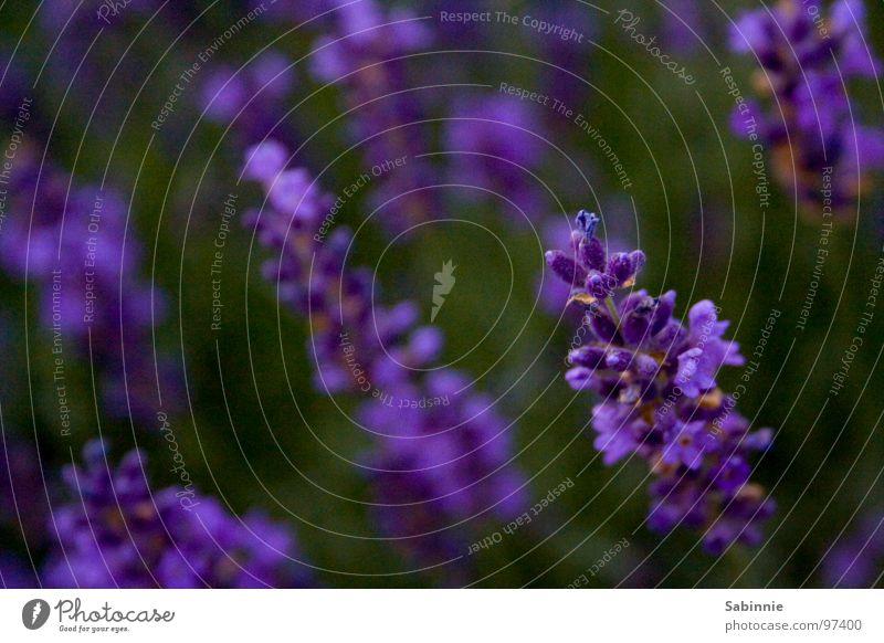 Der Duft von Lavendel grün Pflanze Blüte violett Geruch Parfum aromatisch Heilpflanzen