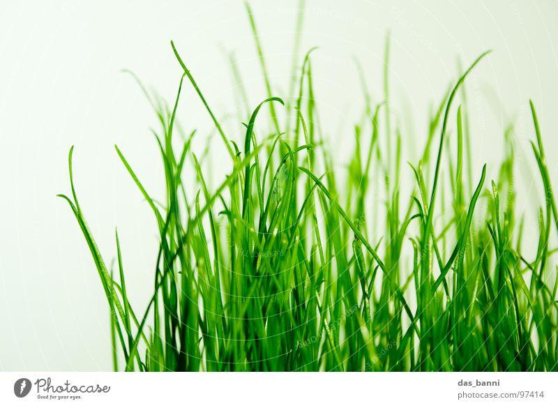 clean gras die zweite - Raum ist Luxus! Gras Pflanze Halm Grasnarbe Photosynthese grasgrün Grasbüschel Vor hellem Hintergrund