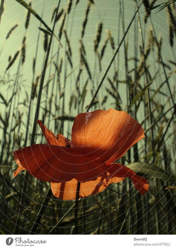 Mohno Blume grün rot Blüte orange zart Getreide Blühend Schönes Wetter Kornfeld verblüht Blütenblatt Klatschmohn Wegrand