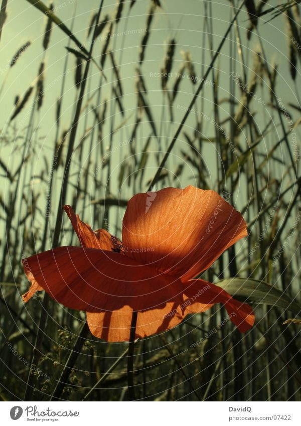 Mohno Blume grün rot Blüte orange zart Getreide Blühend Mohn Schönes Wetter Kornfeld verblüht Blütenblatt Klatschmohn Wegrand