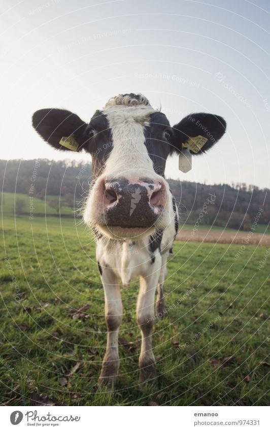 riecht nach Kuh Himmel Natur Ferien & Urlaub & Reisen Pflanze Landschaft Tier Berge u. Gebirge Wiese Gras Kopf Wetter Feld Tourismus stehen wandern Klima