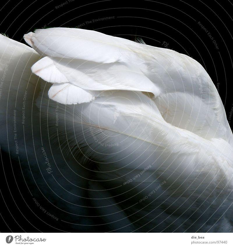 Schwan Vogel Feder weiß schwarz Schwanzfeder Schwarzweißfoto