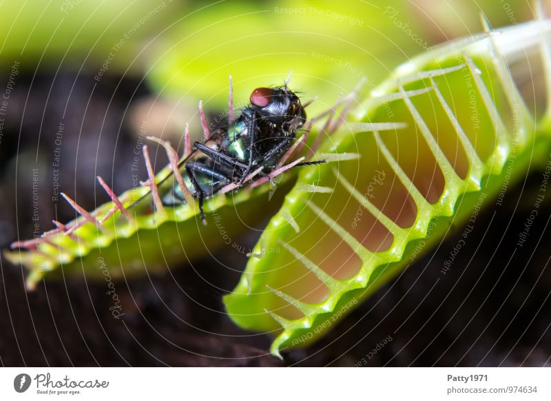 Venusfliegenfalle mit Beute Pflanze exotisch dionaea muscipula Fleischfresser Tier Fliege 1 Fressen Jagd stachelig Farbfoto Innenaufnahme Menschenleer Tag