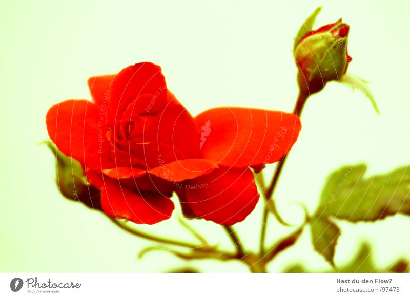 La Rose rot Sommer Frühling Blüte Romantik Leidenschaft Dorn Vorspiel Rosenstock