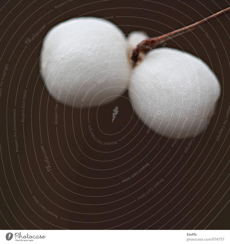 zwei Schneebeeren im Dezember Knallerbsen weiße Beeren Knackbeere Wildpflanze Knallbeere Wintertag Winterfrucht dunkelbraun giftige Pflanze Dezemberlicht
