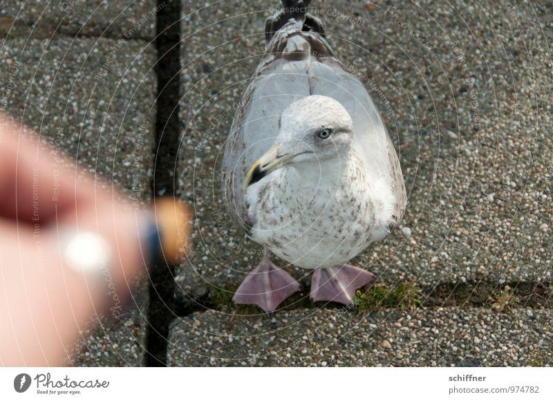 lass endlich | fliegen | blöde Hand! Tier Vogel Finger Möwe Fressen Pflastersteine füttern Möwenvögel betteln Vogelfutter