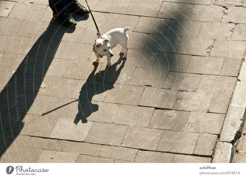 Belgischer Pittbull Mensch Fuß 1 Tier Haustier Hund klein Schatten Schattenspiel Schattendasein Silhouette Jack-Russell-Terrier angriffslustig Wachsamkeit