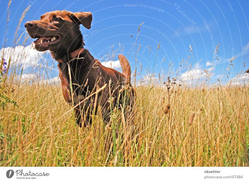 springinsfeld Sommer Freude Tier Herbst Wiese Freiheit Hund Jagd Säugetier Kornfeld
