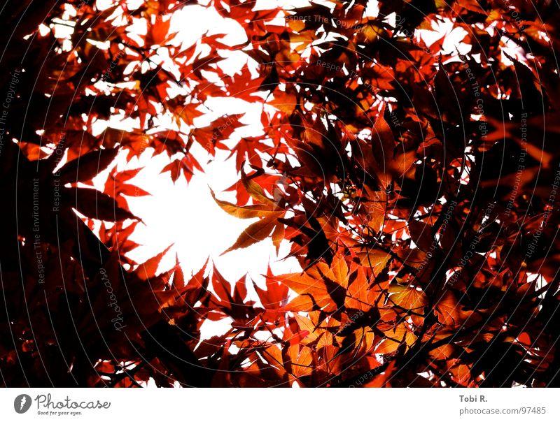 Herbstlicht Blatt Licht dunkel Natur Pflanze Blume Himmel weiß rot hellrot Hoffnung Erwartung aufwachen Außenaufnahme Jahreszeiten mehrfarbig Leben leaf leaves