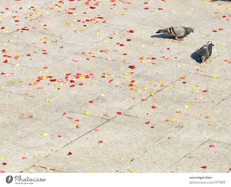 die vogelhochzeit Taube 2 Bürgersteig Blüte Blütenblatt rot gelb verteilt grau ruhig Zusammensein emsig fleißig Sammlung Sommer Frühling Vogel Tier Platz