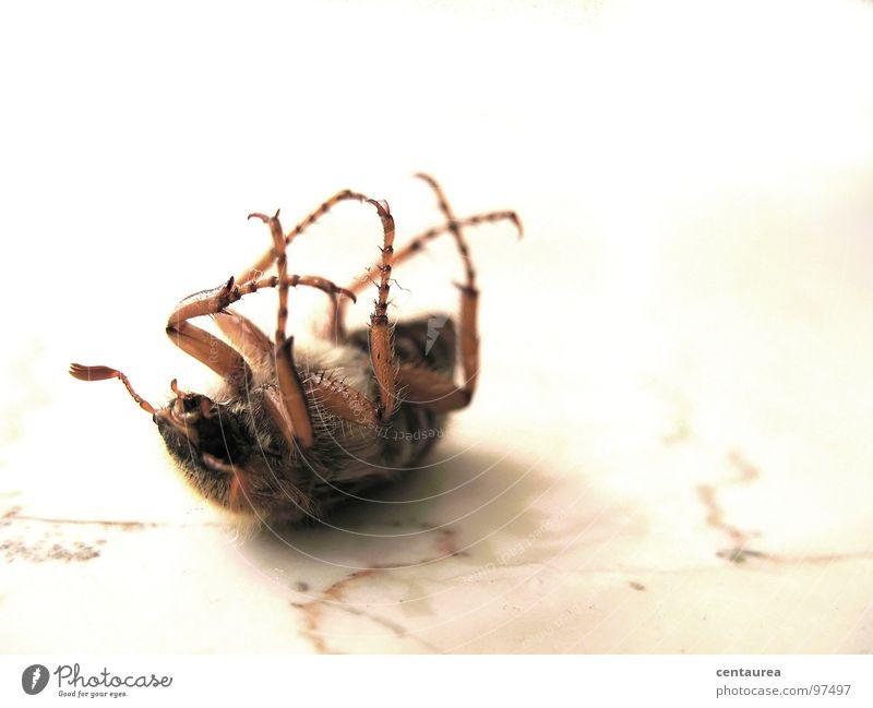 Verwandlung...? Insekt krabbeln Tier verwandeln Tod Fühler tollpatschig machtlos Untergebener Unselbständigkeit Käfer liegen Angst Zukunftsangst Todesangst