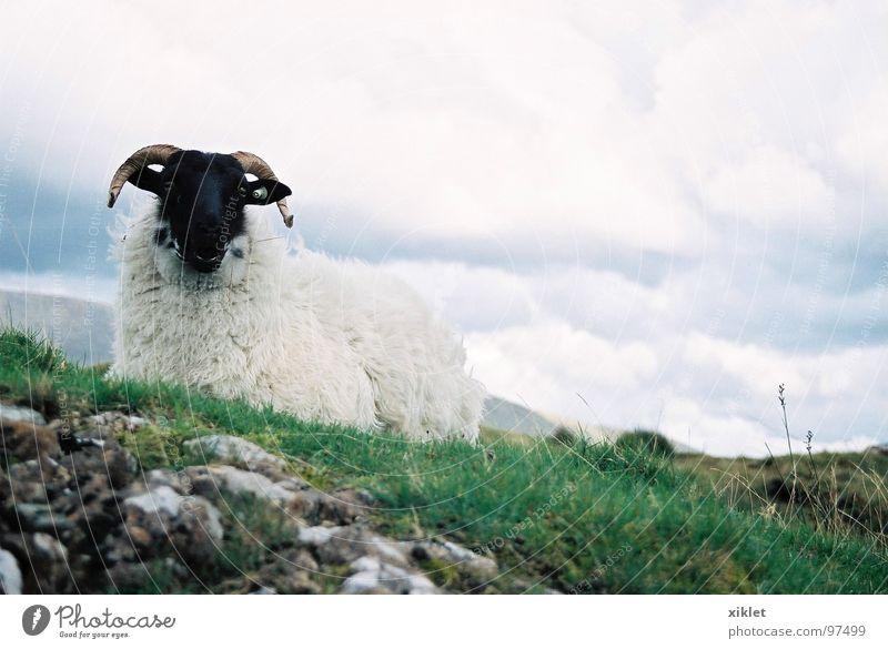 black &white (2) weiß grün schwarz kalt Gras sitzen liegen Gelassenheit Weide Schaf Horn Republik Irland Nutztier bedeckt steinig Regenwolken