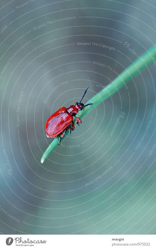 Roter Käfer Natur Pflanze grün rot Blatt Tier Umwelt Gras Zufriedenheit Wildtier Erfolg Beginn festhalten sportlich Mut Müdigkeit