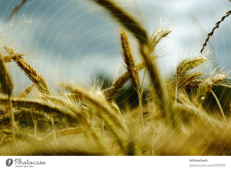 weizenreiz Natur Leben Feld Wind Lebensmittel Ernährung Landwirtschaft Schweiz Korn Richtung durcheinander Kornfeld links Weizen rechts Weizenfeld