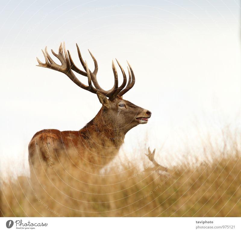 schöner Hirsch auf einer Wiese stehend Spielen Jagd Mann Erwachsene Natur Tier Herbst Wald Pelzmantel Brunft groß wild braun rot Einsamkeit Farbe Jahreszeiten