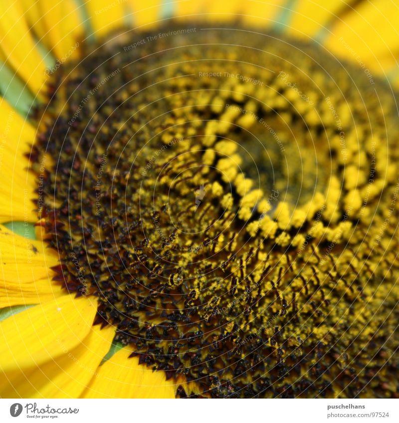 sun Blume Sonnenblume grün gelb braun nah Dinge Freude Makroaufnahme Nahaufnahme Sommer Glück Garten