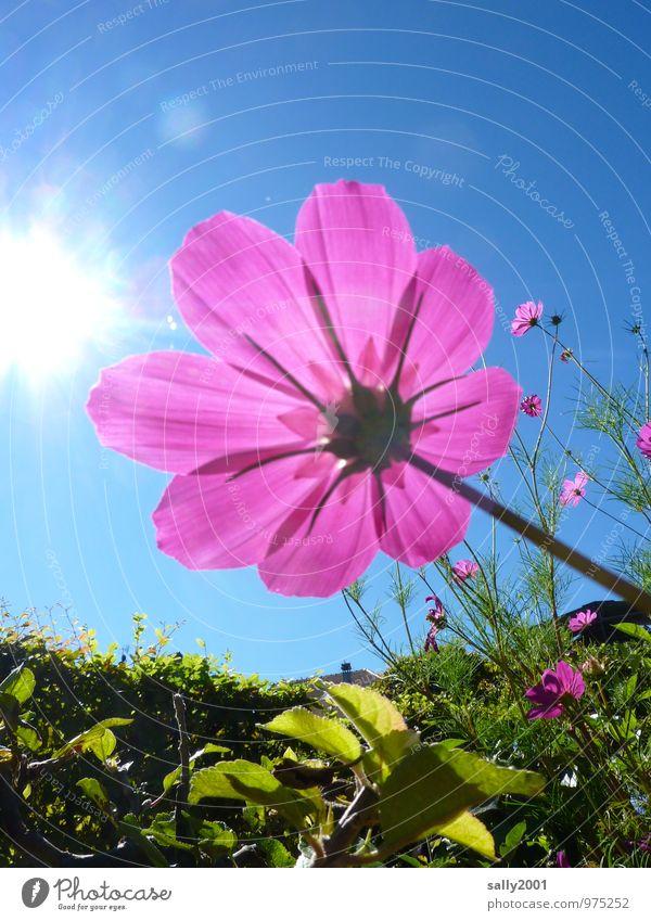 Leuchtkraft... Sonne Sonnenlicht Sommer Schönes Wetter Pflanze Blume Blüte Schmuckkörbchen Hecke Garten Park berühren Blühend Duft leuchten ästhetisch
