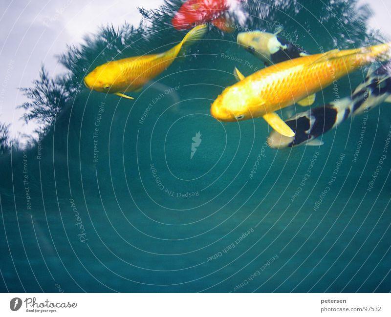 Schwimmende Geldanlage Wasser gelb Fisch Japan Teich Koi Karpfen