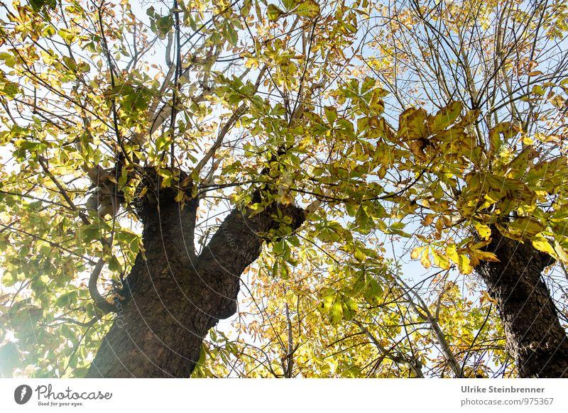 Das Licht in den Kastanien Himmel Natur Pflanze Baum Blatt Umwelt Wärme Herbst natürlich Stimmung Freundschaft Park leuchten Ast Vergänglichkeit Schönes Wetter
