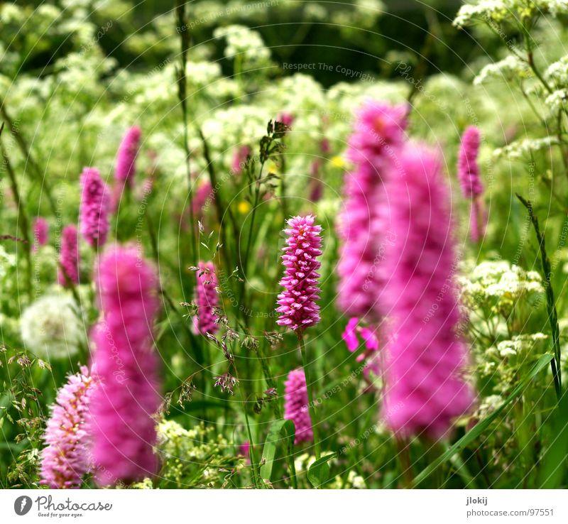 ,iII |,i,||I Blume Blüte Doldenblüte Löwenzahn Gewöhnliche Schafgarbe grün weiß rosa Blumenwiese mehrfarbig Frühling Sommer Pflanze Wiese Mischung Gras