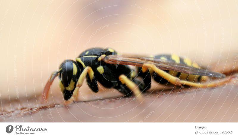 Bodenkontakt Wespen Hinterteil Insekt gefährlich Insektenstich Färbung stechen töten Gliederfüßer Müdigkeit schlafen Knockout krabbeln Angst Panik Fuß Beine