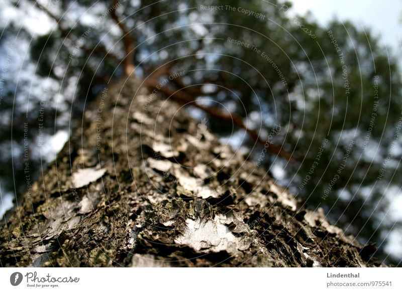 Baumstamm Baumrinde Ast Fichte Tanne Kiefer aufwärts Blick nach oben Himmel