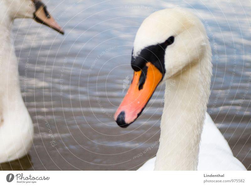 2 Schwäne weiß Wasser Tier Liebe Schwimmen & Baden orange Tierpaar Zusammenhalt Schnabel Schwan prächtig