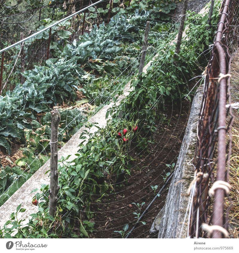 reife Paprika Gemüse Landwirtschaft Forstwirtschaft Erde Pflanze Nutzpflanze Feldfrüchte Linie Arbeit & Erwerbstätigkeit frisch Gesundheit braun grün rot