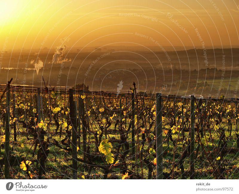 Goldener Sonnenaufgang Licht Stimmung Morgen aufstehen wach Guten Morgen Weinberg Rheingau Eltville Herbst aufwachen niedlich Industrielandschaft Weinlese Blatt