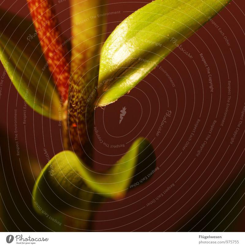 Power Flower 5 Pflanze Blume Nutzpflanze Topfpflanze exotisch grün Warmherzigkeit Stengel Besenstiel Gärtner Gärtnerei Blatt blättern Farbfoto Innenaufnahme Tag