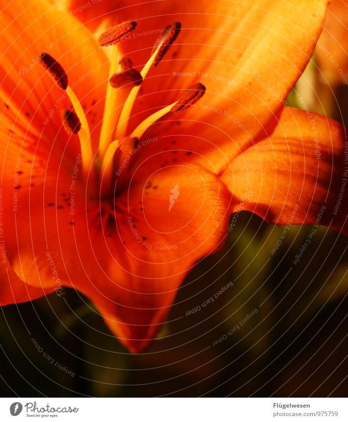 Power Flower 4 Pflanze Blume Topfpflanze exotisch orange Blütenknospen Blütenblatt Blütenpflanze Blütenstempel Blütenstiel Blütenkelch Blütenstauden