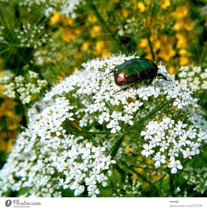 Käferchen Tier klein Ekel schillernd glänzend weiß grün gelb Blume Unschärfe nah Makroaufnahme Pflanze Jungpflanze hässlich Natur Rosenkäfer Nahaufnahme