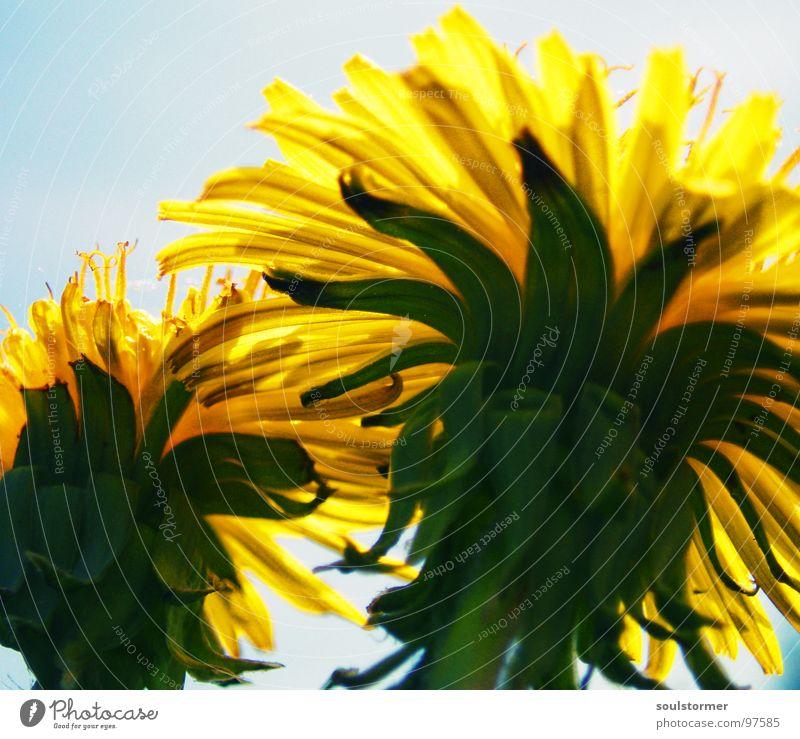 geschützt Löwenzahn Blume Pflanze grün gelb Froschperspektive Makroaufnahme Sommer Frühling sprießen Geborgenheit ducken bücken Blick Nahaufnahme Sicherheit