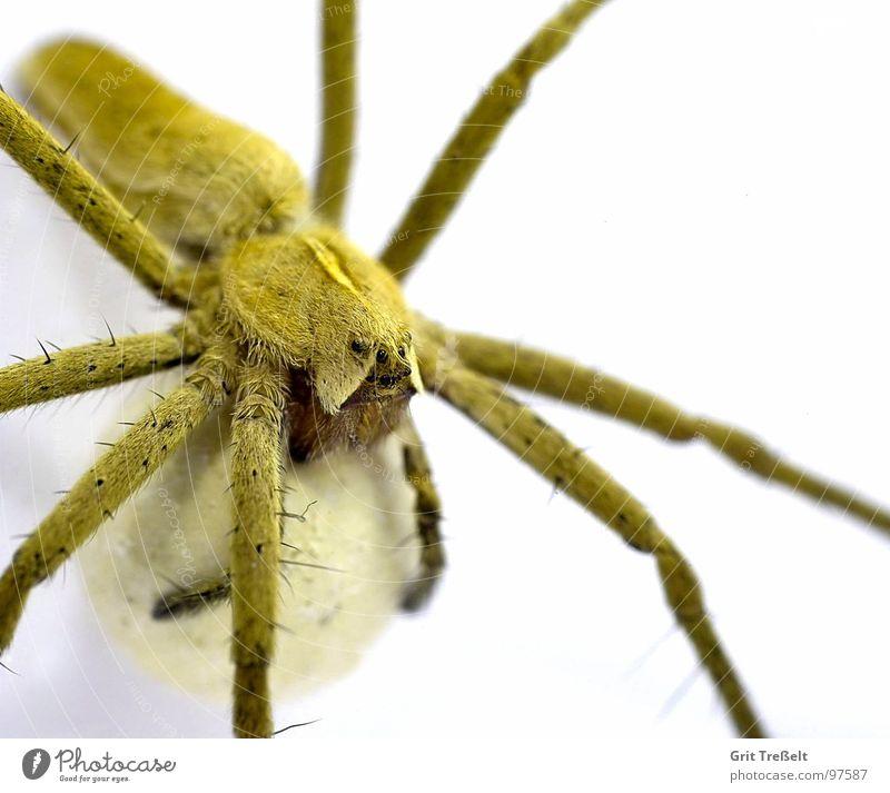 Listspinne (Pisaura mirabilis) mit Kokon weiß Sommer Wiese Geschwindigkeit Spinne gewebt
