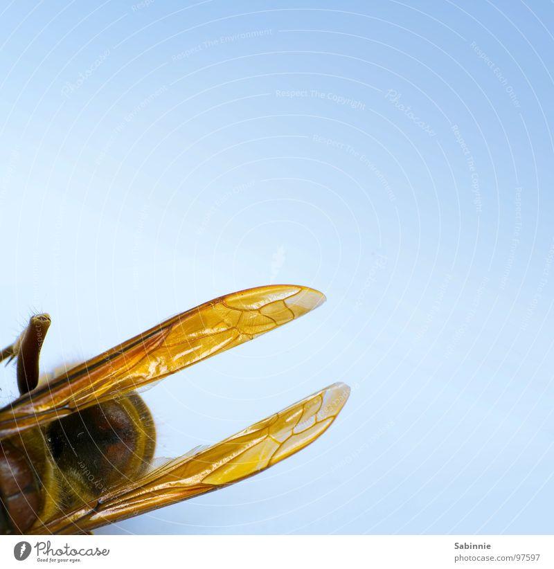 Eckenhornisse I Hornissen Insekt zart bewegungslos gelb braun stechen Makroaufnahme Nahaufnahme Tod Flügel fliegen Stachel