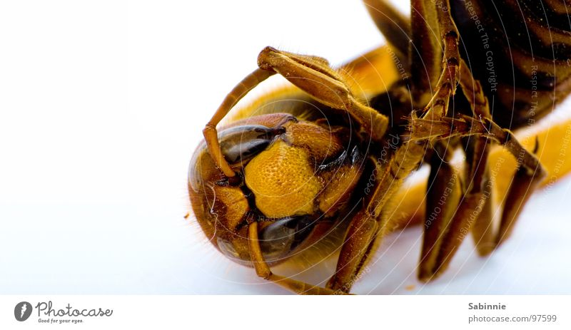 Eckenhornisse II Hornissen Insekt zart bewegungslos gelb braun stechen Facettenauge gefaltet Blick Makroaufnahme Nahaufnahme Tod Flügel fliegen Beine Stachel