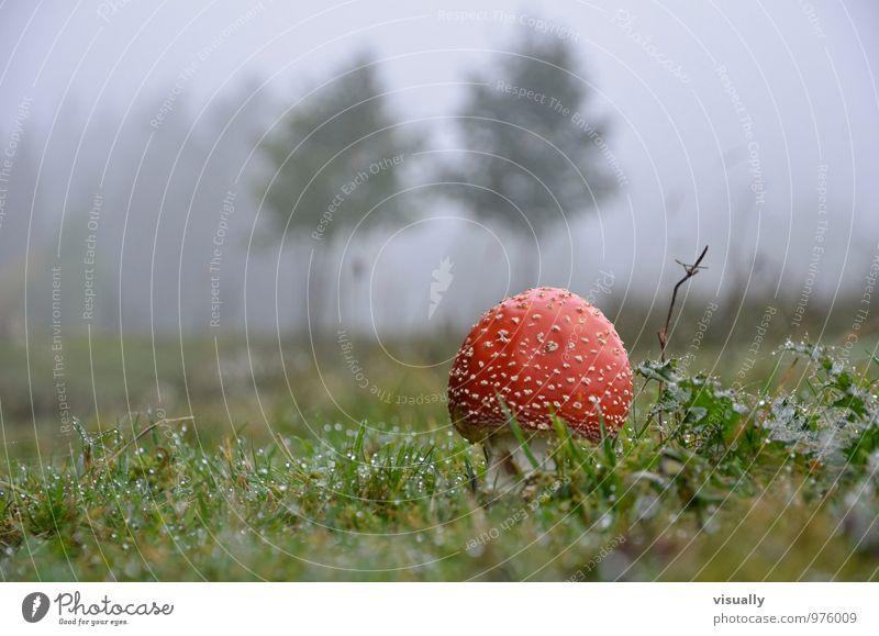 Fliegenpilz vor dem Tor Behandlung Alternativmedizin Rauschmittel Medikament Pilze sammeln Homöoparth Natur Pflanze Herbst Nebel Wiese Wald Essen authentisch