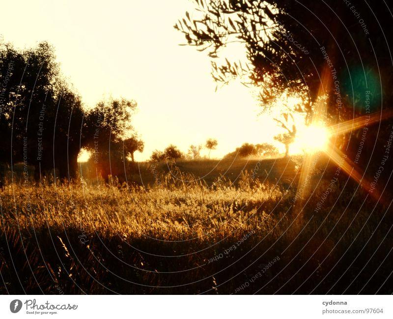 Ein Abend im Olivenhain I Himmel Natur grün schön Ferien & Urlaub & Reisen Pflanze Sonne Sommer Einsamkeit Landschaft Leben Wiese Wärme Ausflug außergewöhnlich