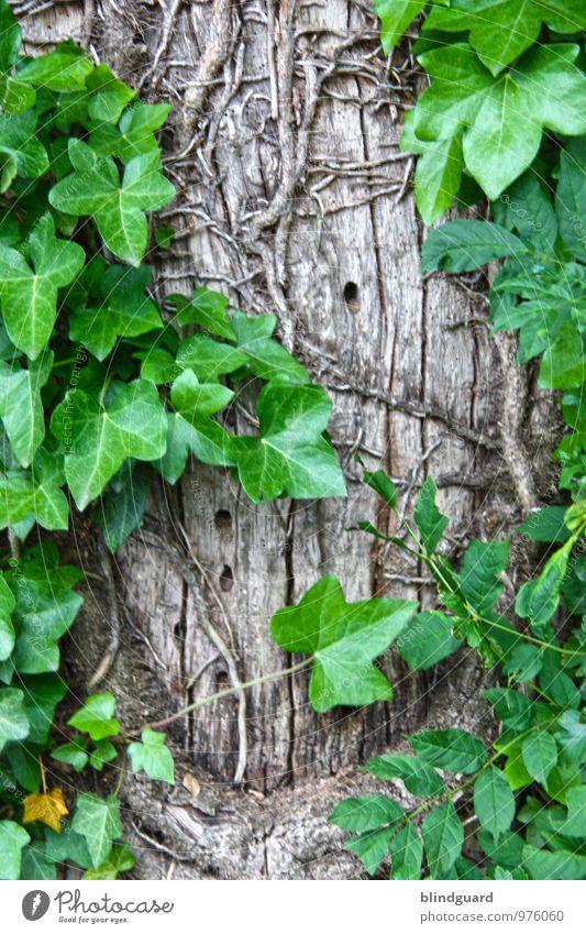 The Decision Tree Sommer Umwelt Natur Pflanze Baum Efeu Grünpflanze Wildpflanze Holz Wachstum trist trocken gold grau grün Farbfoto Außenaufnahme Detailaufnahme