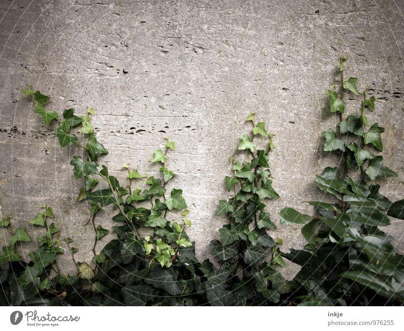 Friedhofsgewächs Natur Sommer Herbst Efeu Menschenleer Mauer Wand Garten Wachstum grau grün Verfall Vergänglichkeit bewachsen Immergrüne Pflanzen Ranke
