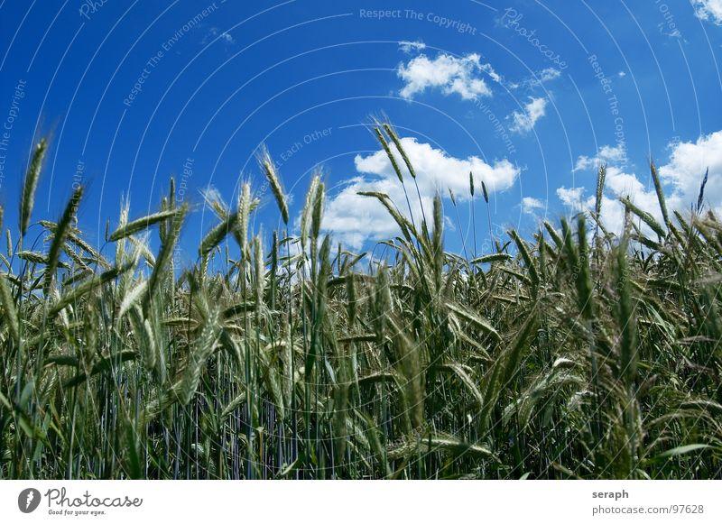 Getreide Wiese Feld Roggen Weizen Gerste grün Horizont Wolken Sommer Umweltschutz Halm Ähren ökologisch Kornfeld ländlich Landwirtschaft Natur Landschaft