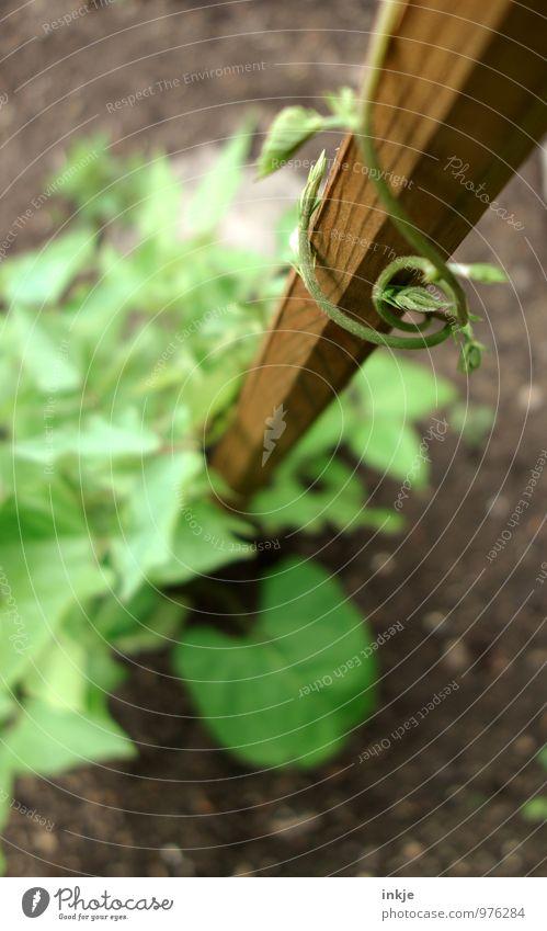 Kletterbohne Gartenarbeit nutzbeet Landwirtschaft Forstwirtschaft Natur Sommer Nutzpflanze Ranke Kletterpflanzen stangenbohnen Bohnen Wachstum frisch Gesundheit