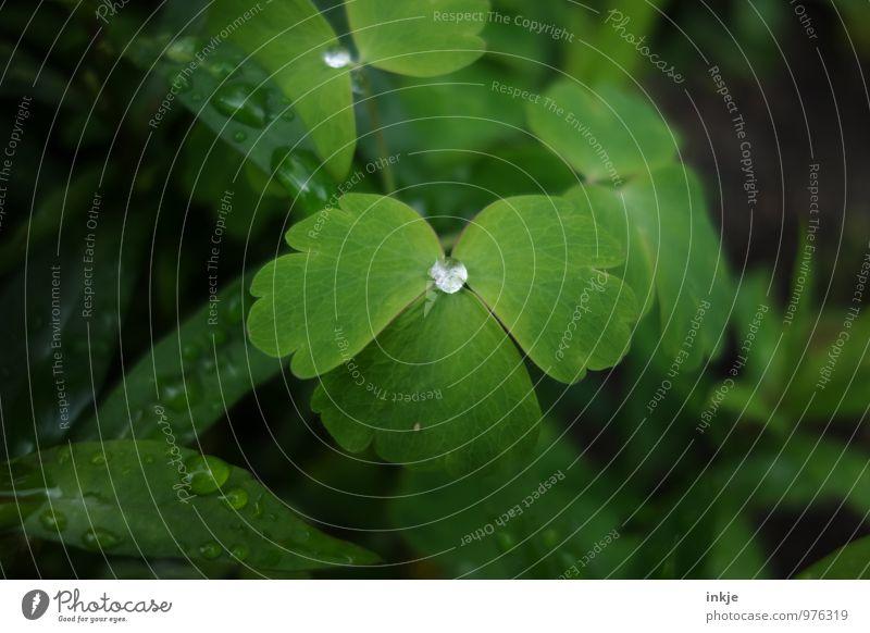 Regenwasser Wassertropfen Frühling Sommer Pflanze Blatt nass rund grün sattgrün Tau hydrophob Mitte einzeln Tropfen Farbfoto Außenaufnahme Nahaufnahme