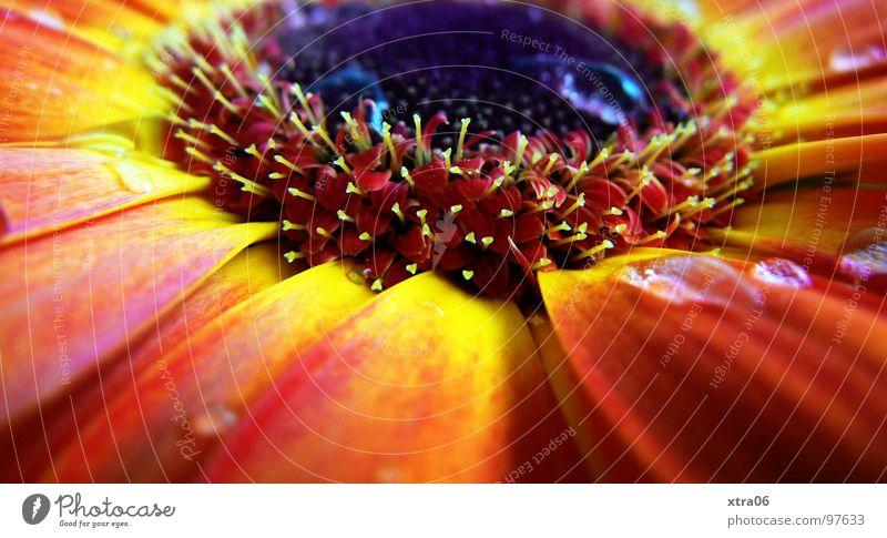 sunlike Wasser Sonne Blume Pflanze rot Sommer gelb springen Blüte Frühling Wärme orange Brand Wassertropfen frisch Physik