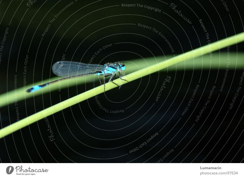 Halmhocken Libelle Insekt Klein Libelle Azurjungfer Becher Azurjungfer Gras Seegras Teich Gewässer beobachten Pause ruhig schmal dünn zierlich lang fein zart