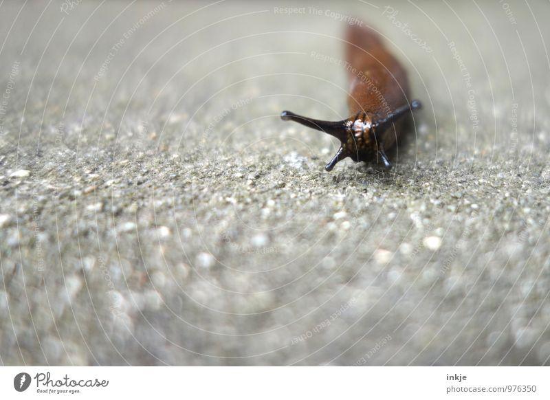 Nacktschnecke Tier Wildtier Schnecke Tiergesicht Nacktschnecken Fühler 1 einfach Ekel lang nackt braun grau schleimig krabbeln langsam Farbfoto Außenaufnahme