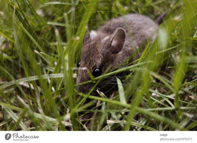 Mäuschen 3 Frühling Sommer Gras Wiese Tier Wildtier Maus Tiergesicht 1 hocken krabbeln frei klein Neugier niedlich braun grün Gefühle Schutz Natur Farbfoto