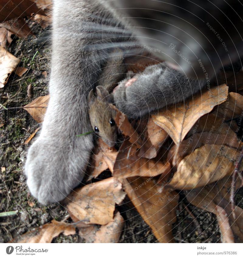 Die Hoffnung stirbt zu letzt. Herbst Herbstlaub Tier Haustier Wildtier Katze Maus 2 fangen festhalten Jagd authentisch bedrohlich klein braun Gefühle Angst